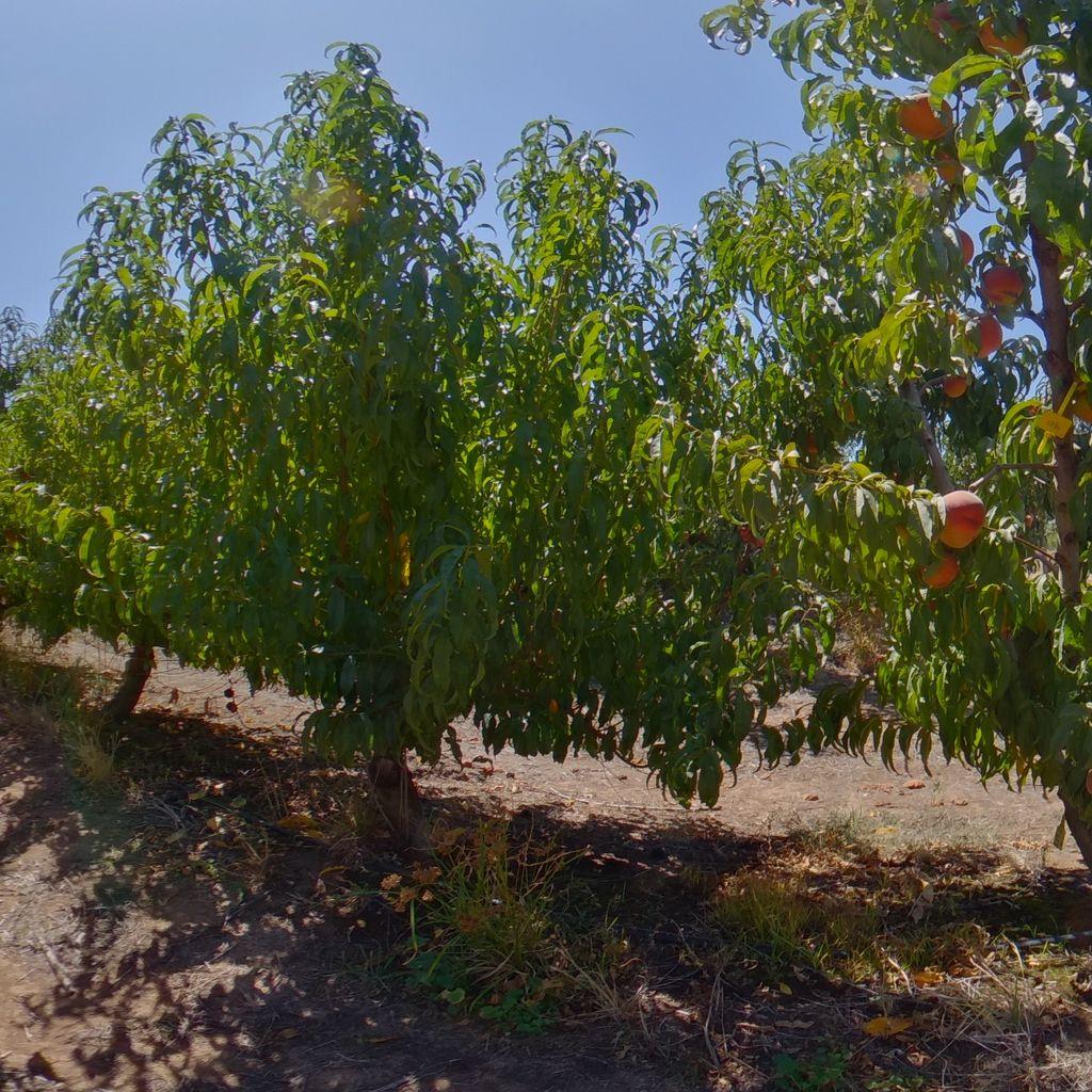Elberta rootstock Medium cropload