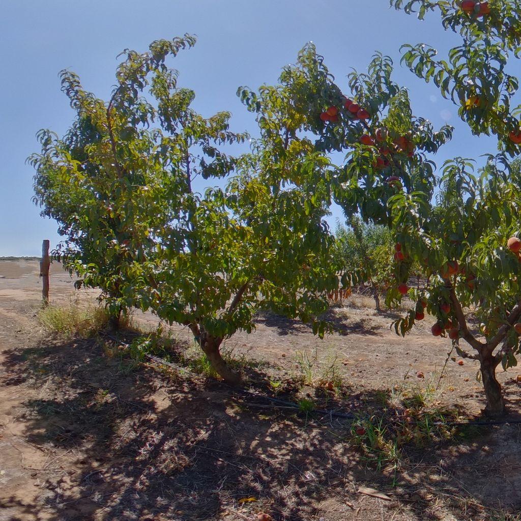 Elberta rootstock High crop load