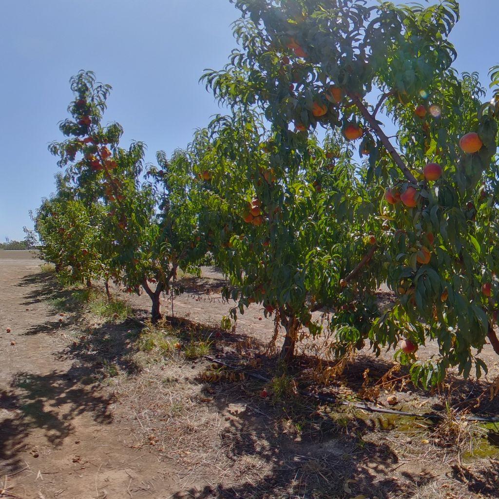 Cadaman rootstock Low cropload
