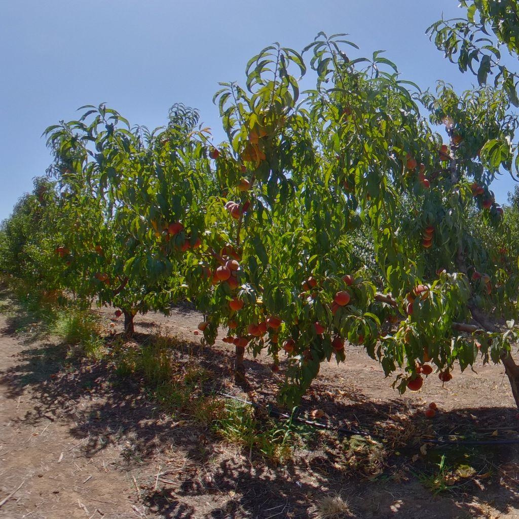 Nemaguard rootstock High cropload