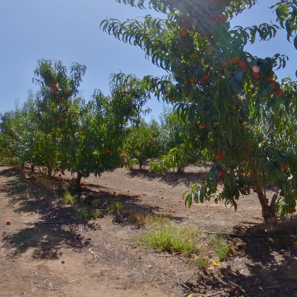 Cadaman rootstock High cropload