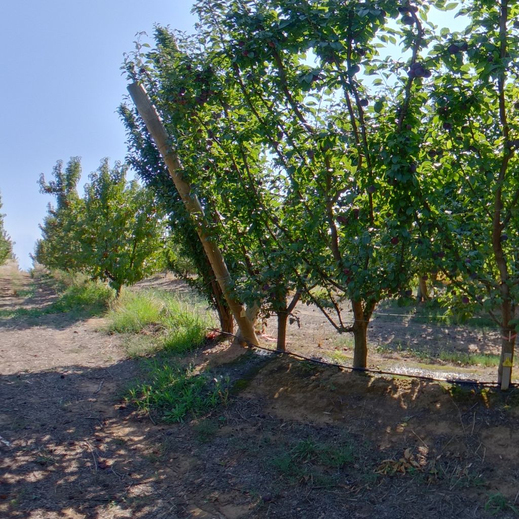 Low crop load: Plum on Tatura trellis