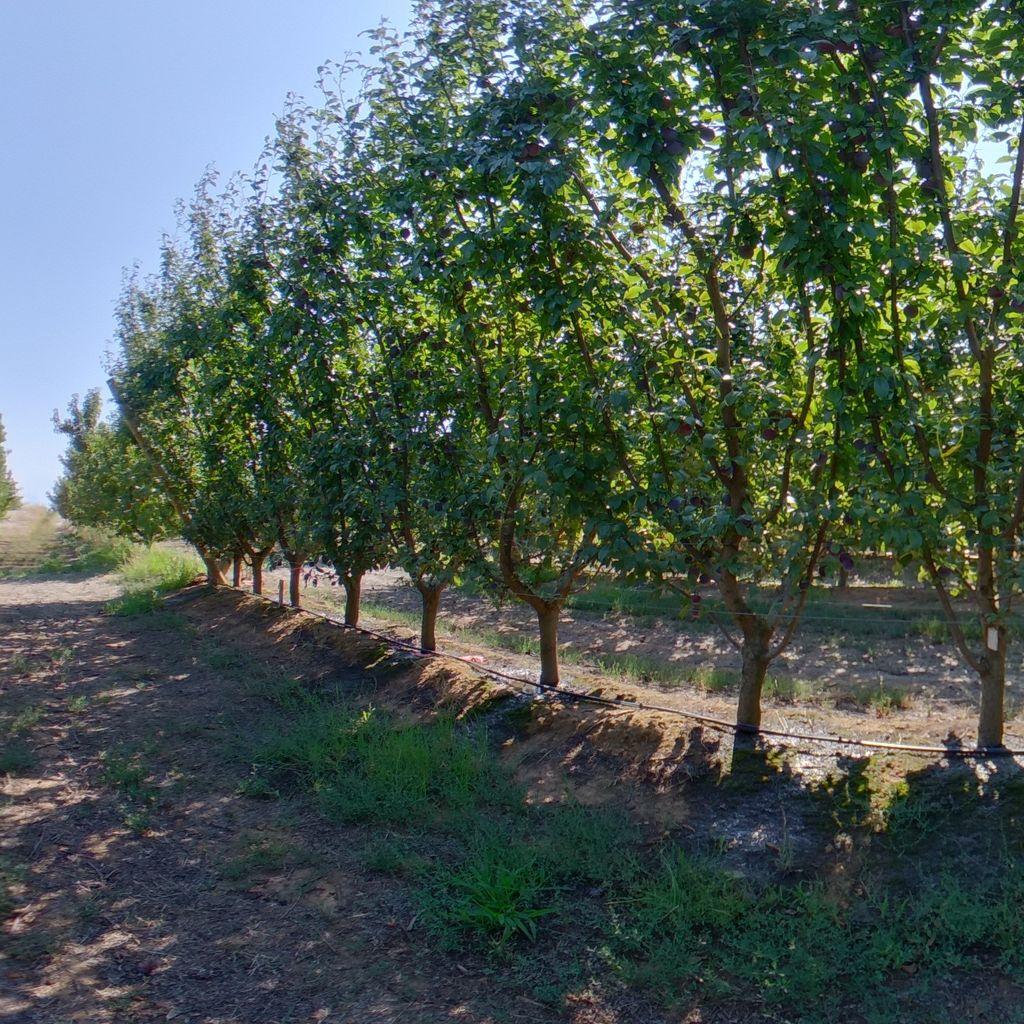 Medium crop load: Plum on Tatura trellis