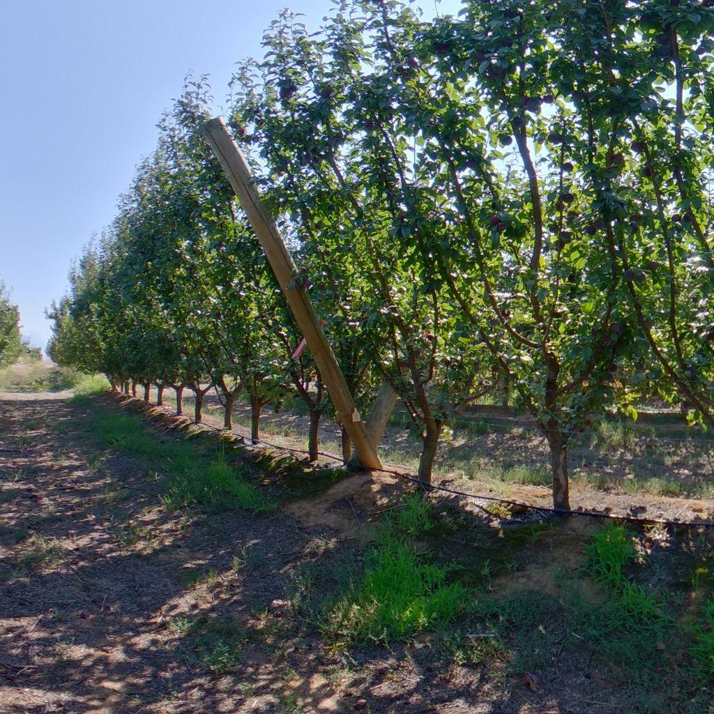 High crop load: Plum on Tatura trellis
