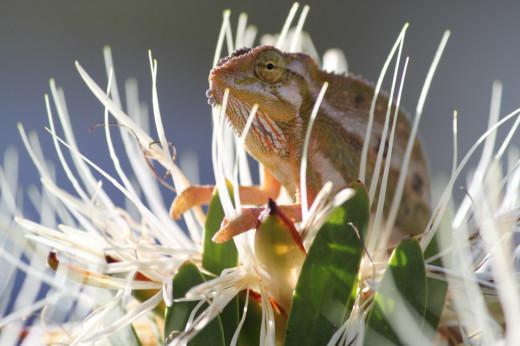 August A_HC Miranda Waldron_Chameleon on Protea
