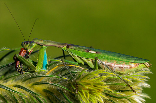 July A_W Jeanette du Toit_Praying Mantis Feeding