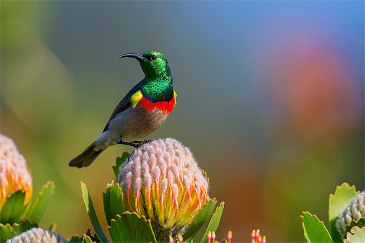June A_HC Jeanette du Toit_Sunbird in Breeding Plumage