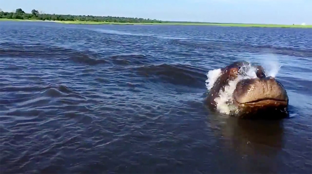 hippo-charge-pangolin-chobe
