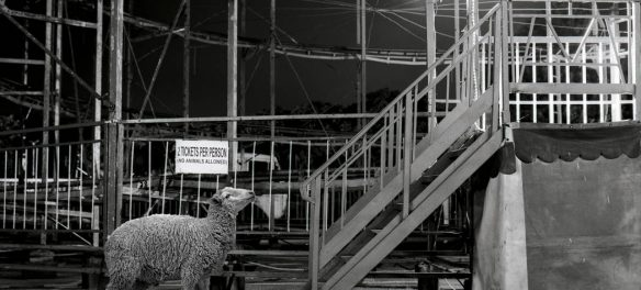 Incurious is a black and white, fun, animal portrait series of a sheep | images by Justin Dingwall, featured on Orms Connect Photography Blog South Africa
