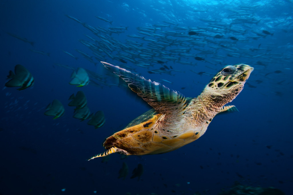 Wildlife Photographer of the Year Exhibition | Hawksbill Sea Turtle