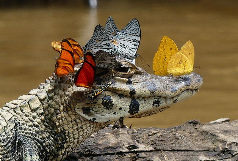 Caiman Wearing a Crown of Butterflies