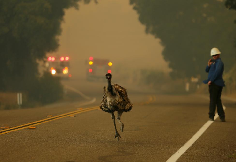 An emu runs to escape an approaching wildfire as it burns near Potrero, California, June 20, 2016. REUTERS/Mike Blake