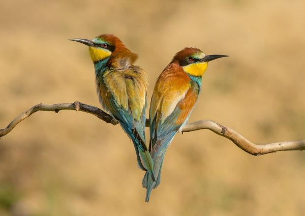 Pair of European Bee-eaters Sitting on a Branch by Julia Wainwright in Hungary