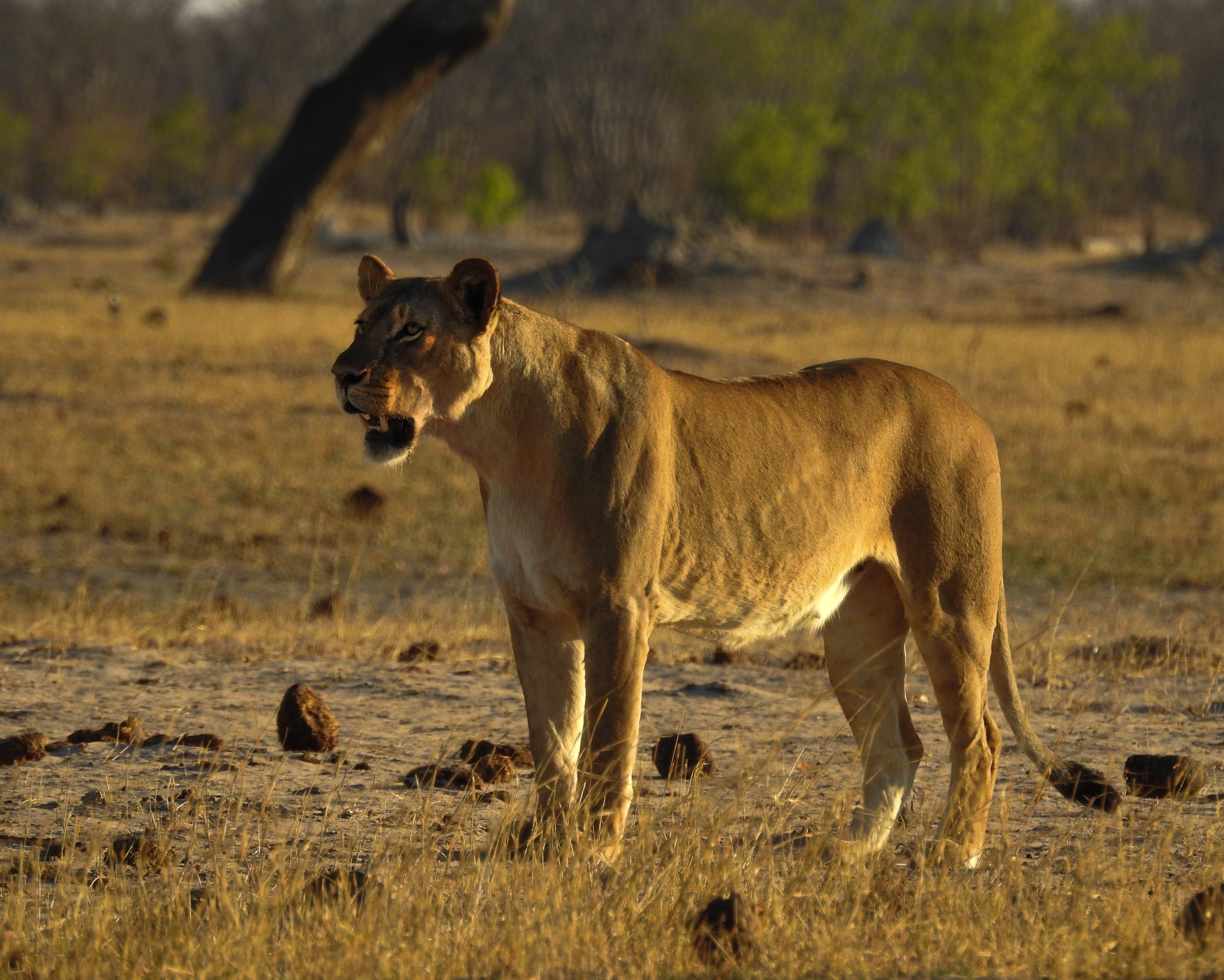 lionness rewilding