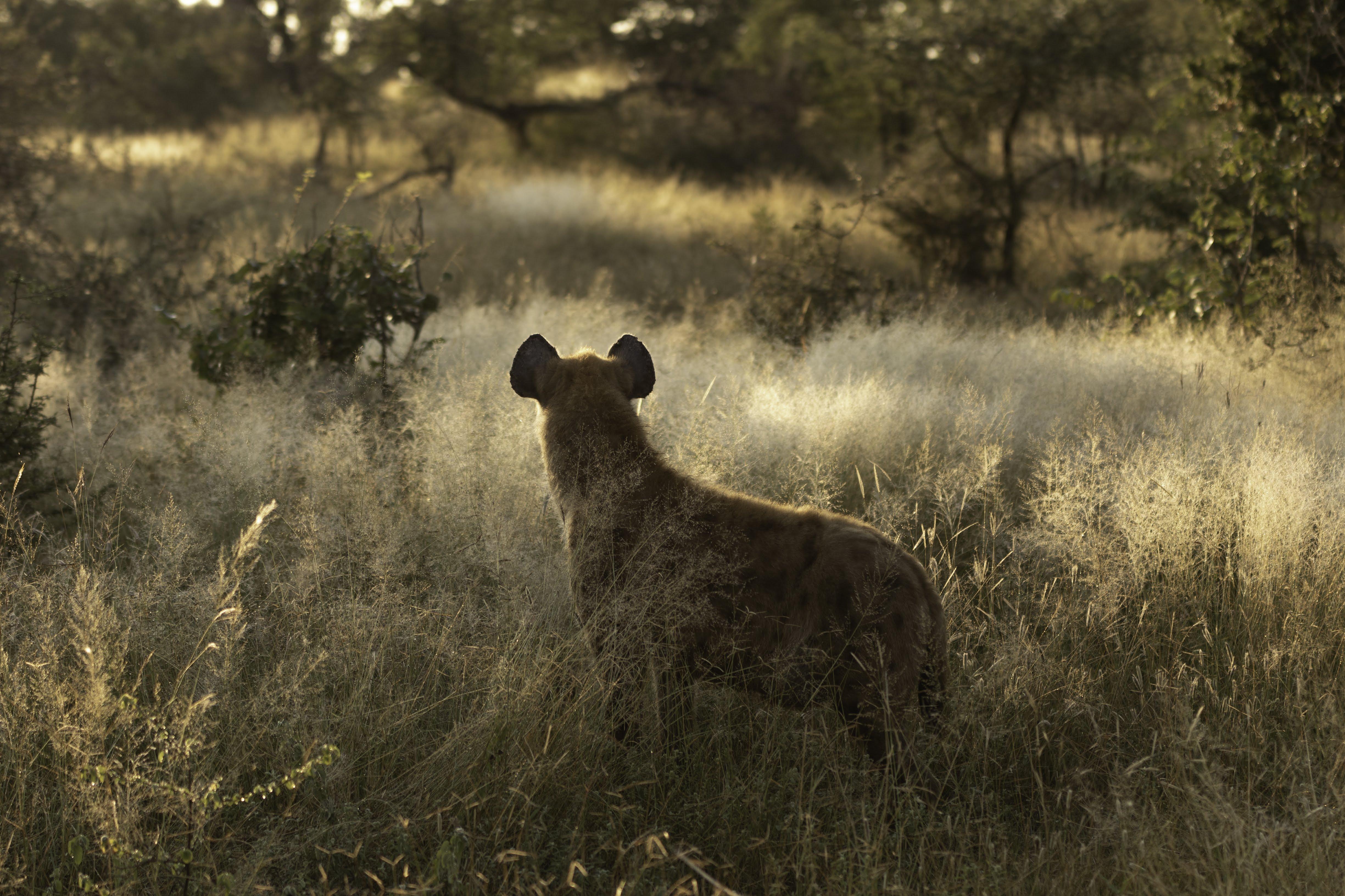 hyena rewilding