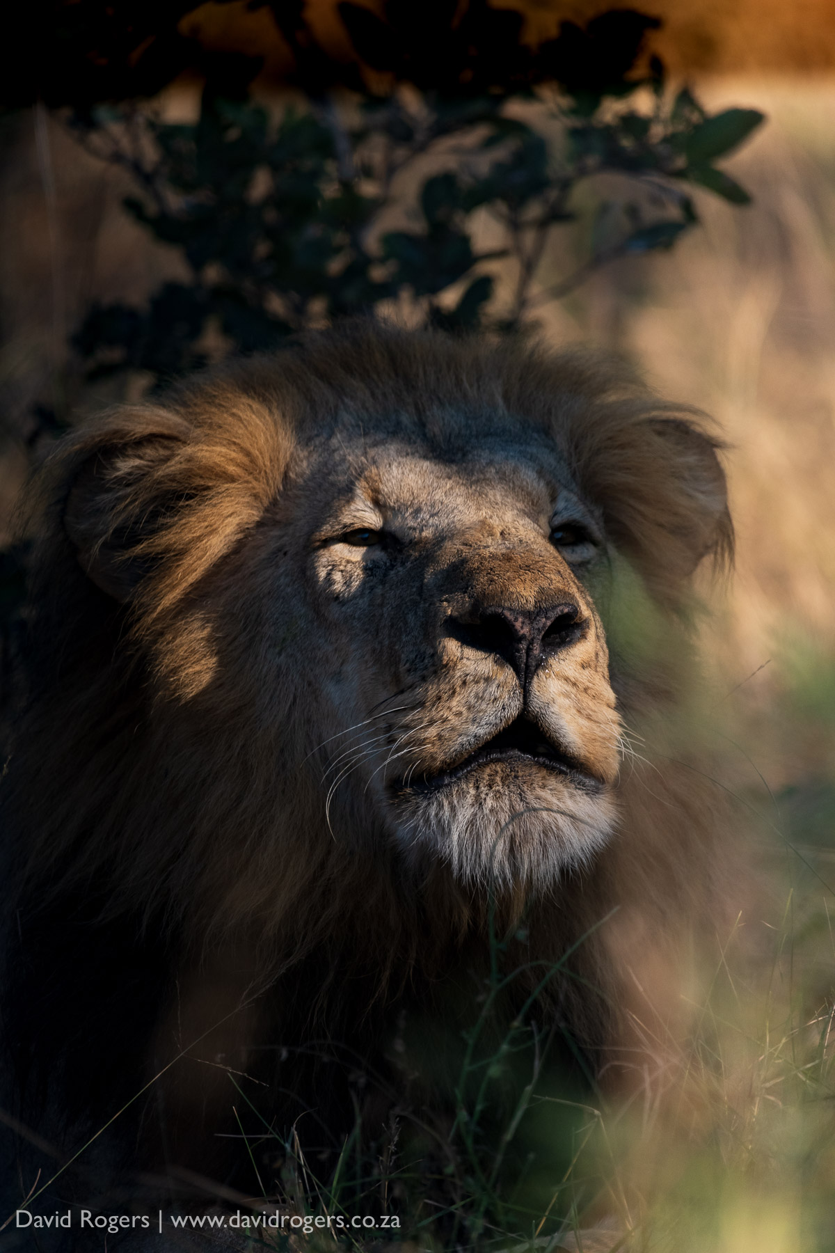 lion shot on the Sigma 60-600mm f/4.5-6.3 DG OS HSM Sports lens
