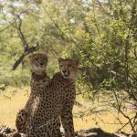 Cheetah Sisters at Pamushana