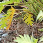 A Francolin spotted at the Four Seasons Hualalai