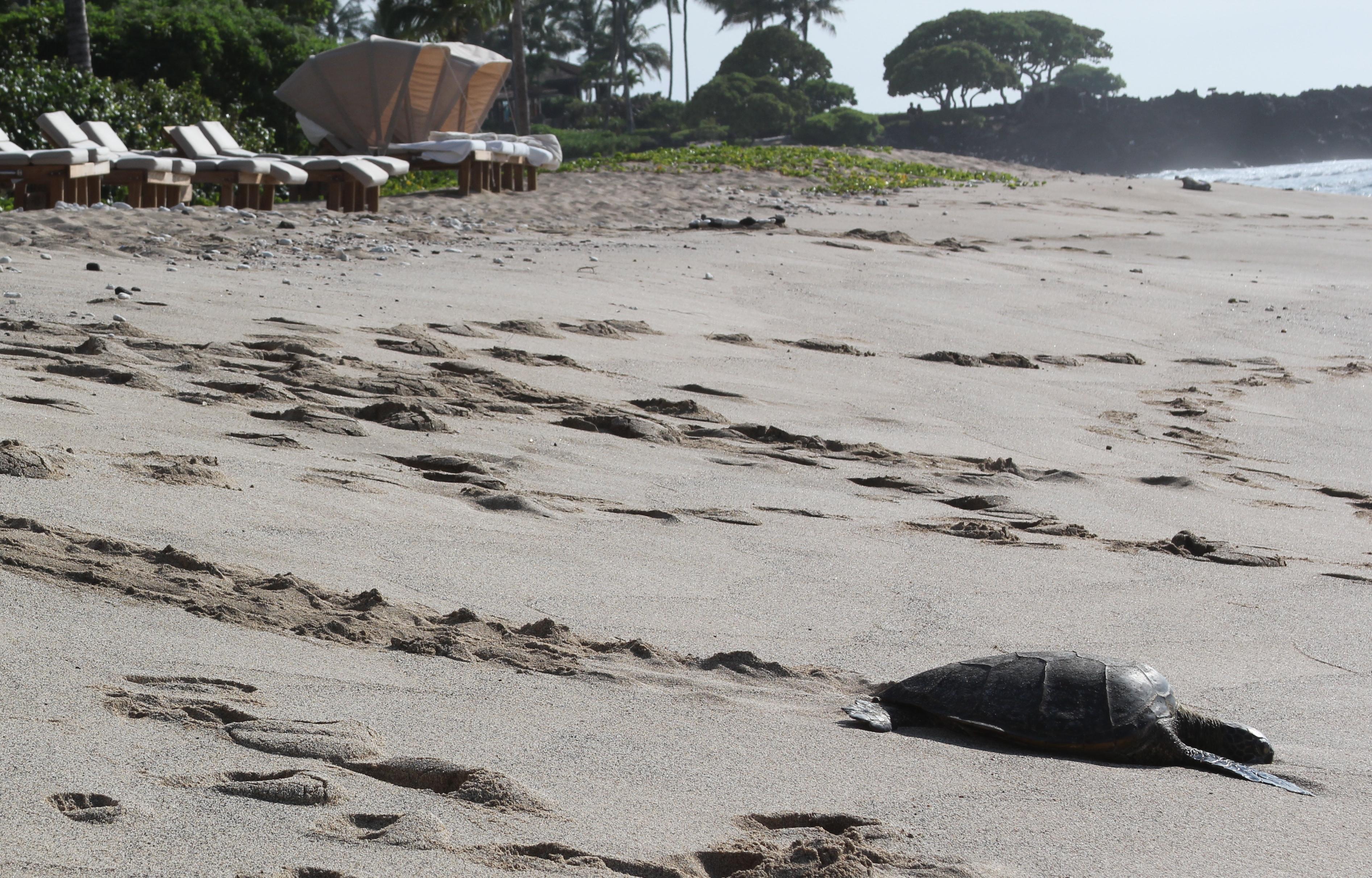 Hualalai Turtle