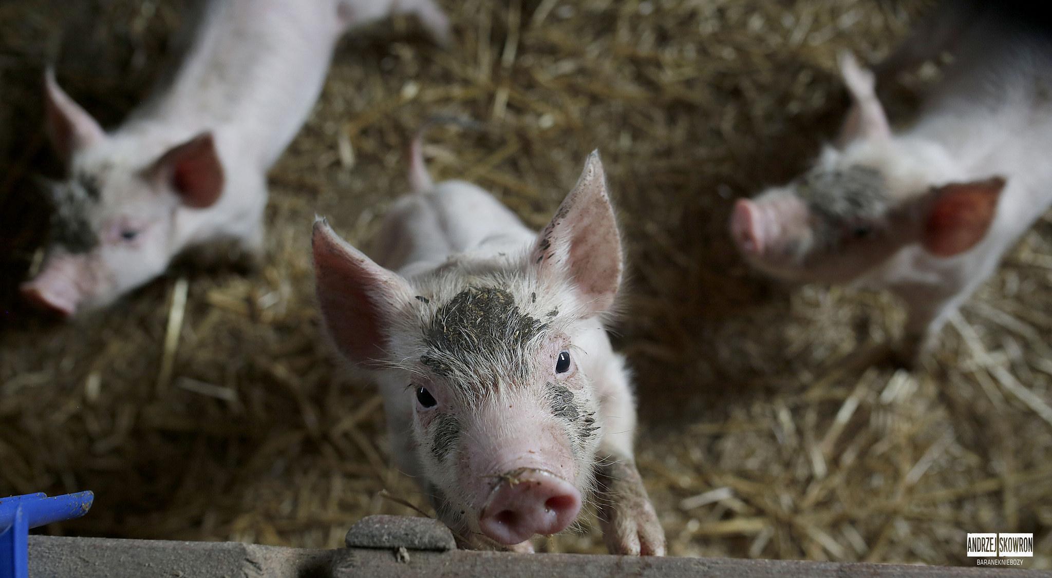 Jedzenie mięsa zmienia nasze postrzeganie zwierząt