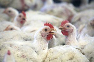 kurczaki hodowane na mięso