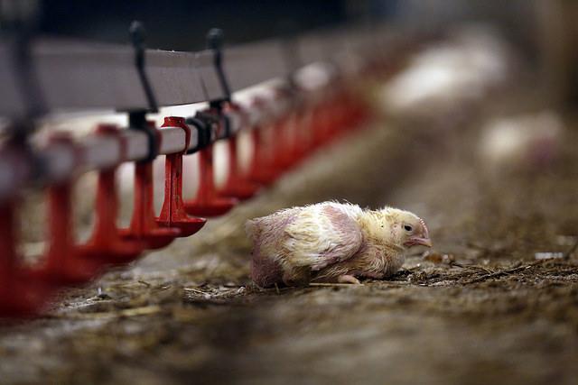 Brojler kurczaki hodowane na mięso