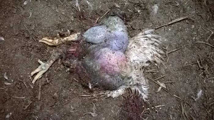 Śledztwo na fermie kurczaków