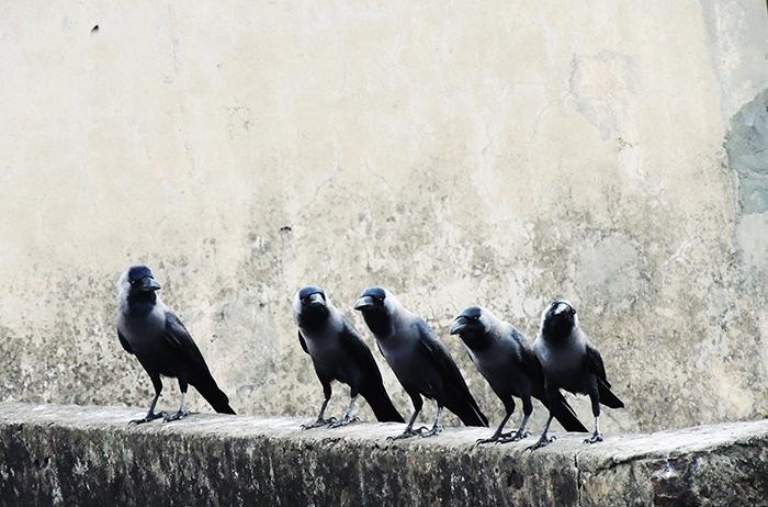Kruki inteligentne ptaki