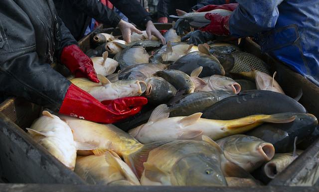 karpie, święta, traktowanie ryb