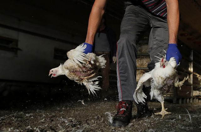 17 faktów o hodowli kurczaków na mięso
