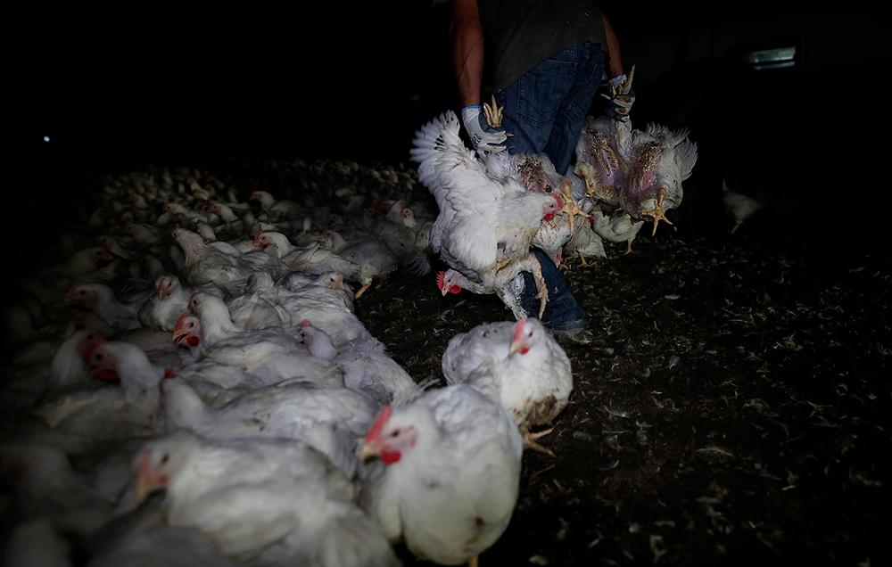 Rozwój przemysłowej hodowli drobiu - raport