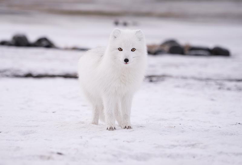 5 faktów o lisach polarnych
