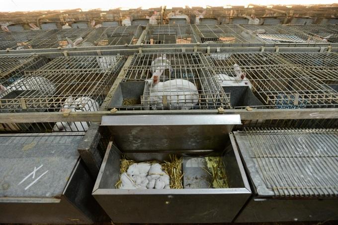 króliki w klatce