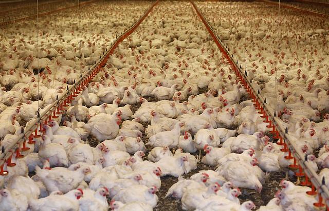 KFC po stronie kurczaków