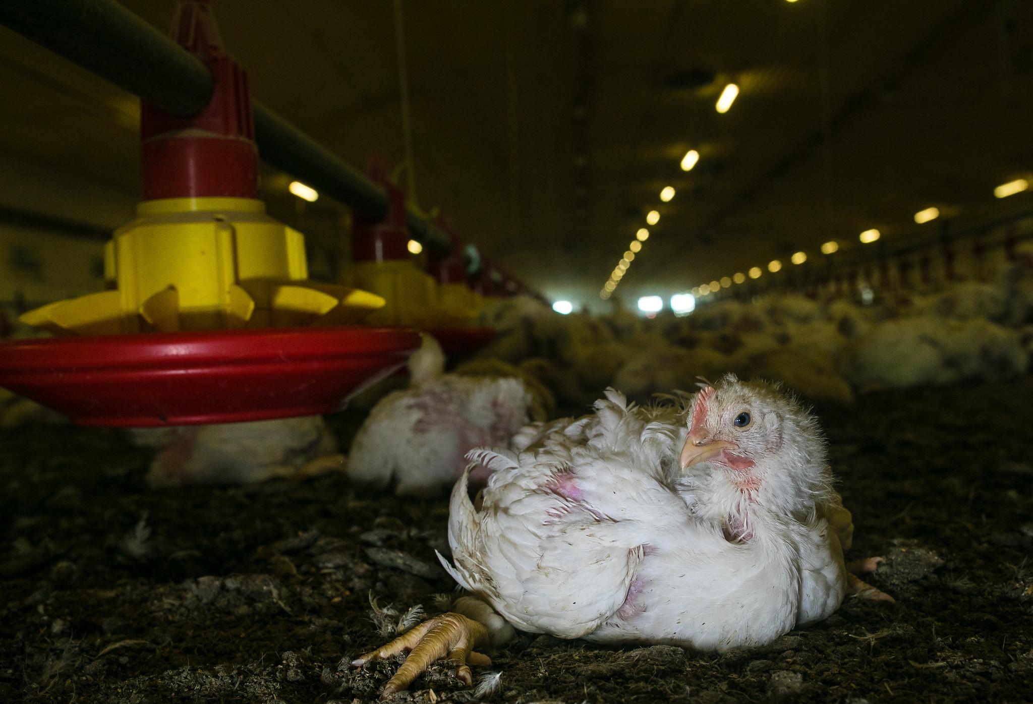 Kurczak brojler. Fot. Otwarte Klatki