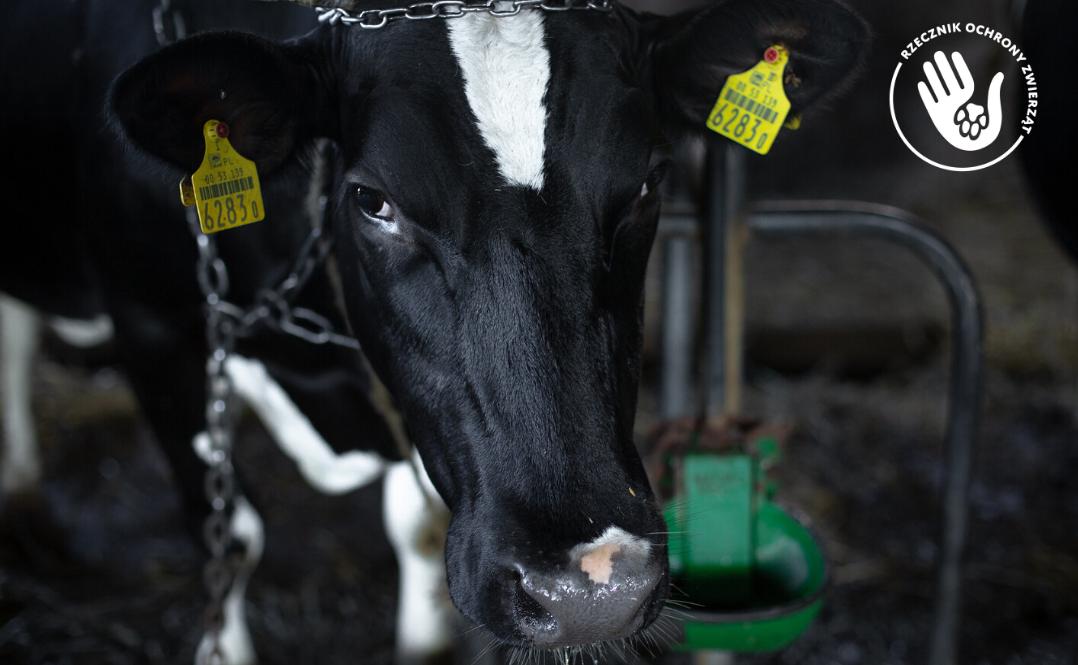 Krowa kulisy pracy rzecznika ochrony zwierząt