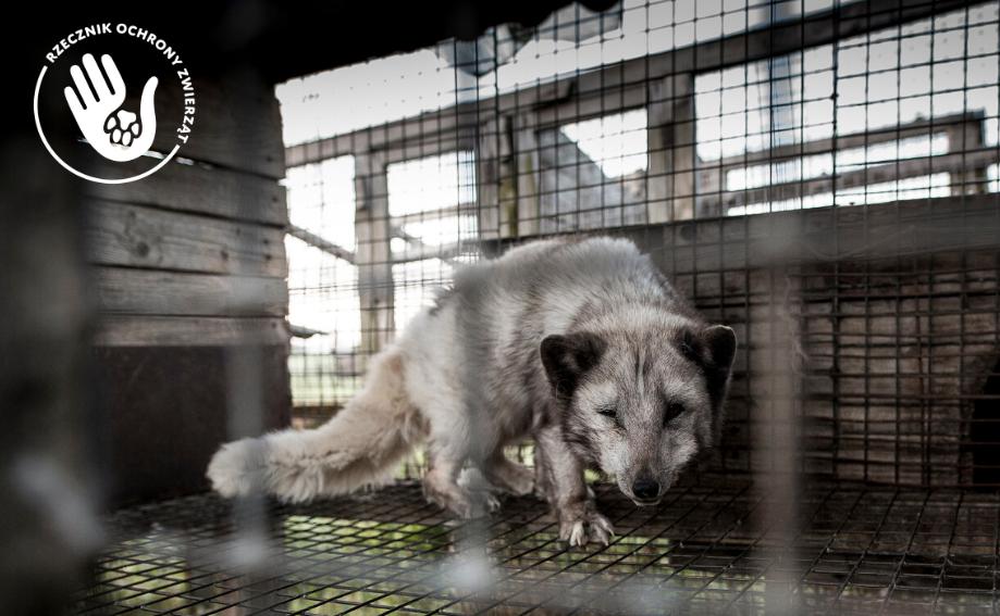 lis futro kulisy pracy rzecznika ochrony zwierząt