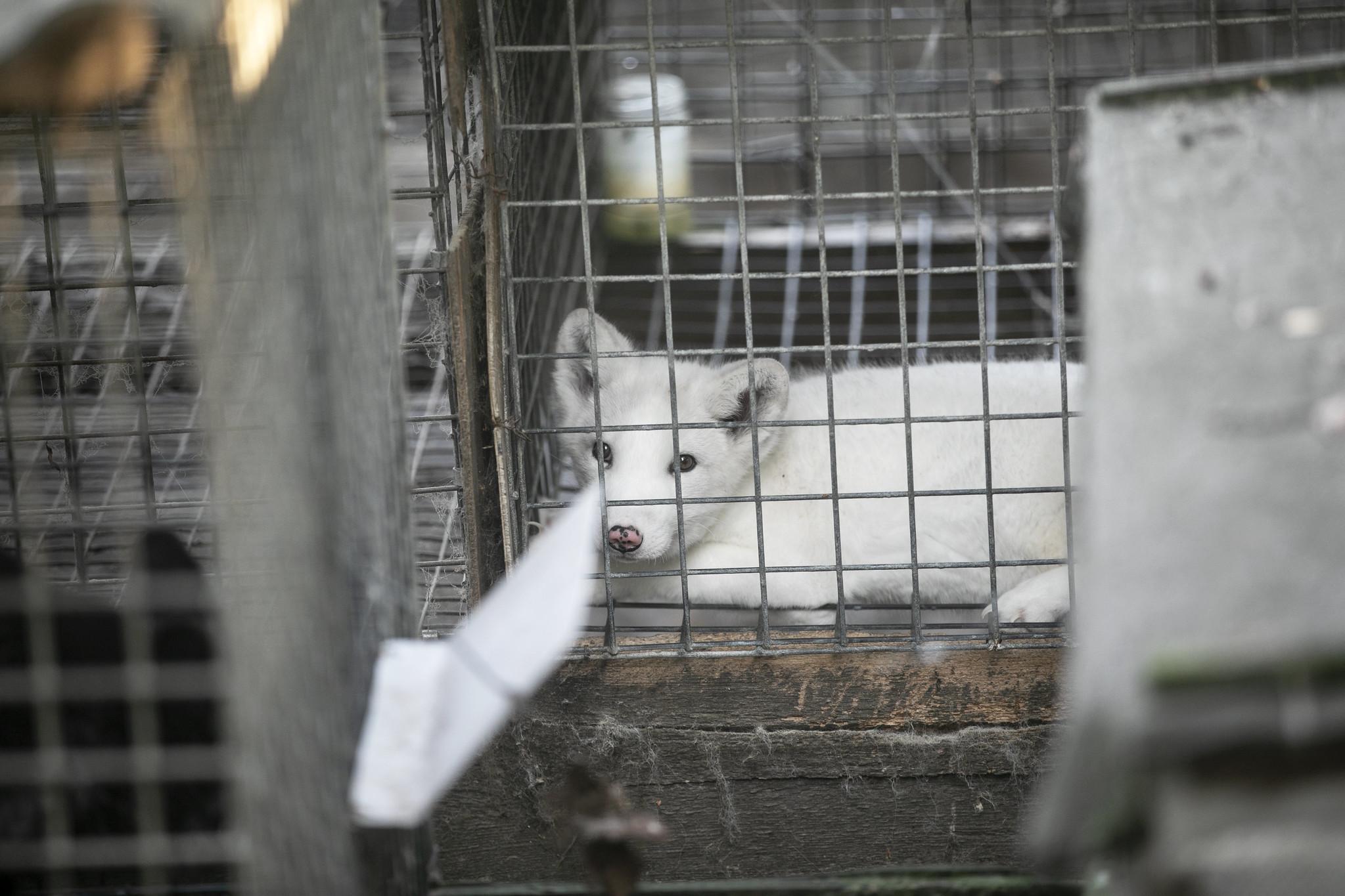 Maciek, lis polarny uratowany z fermy w Karskach