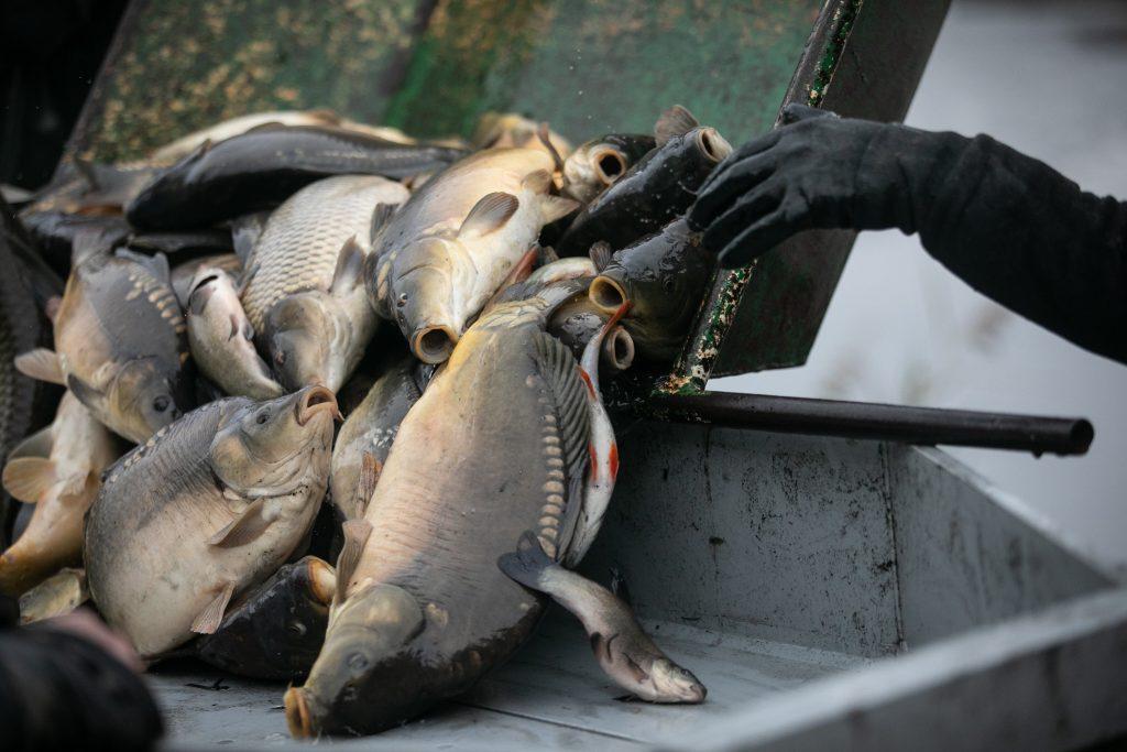 ryby karp