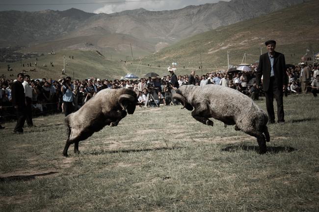 nielegalne walki owiec