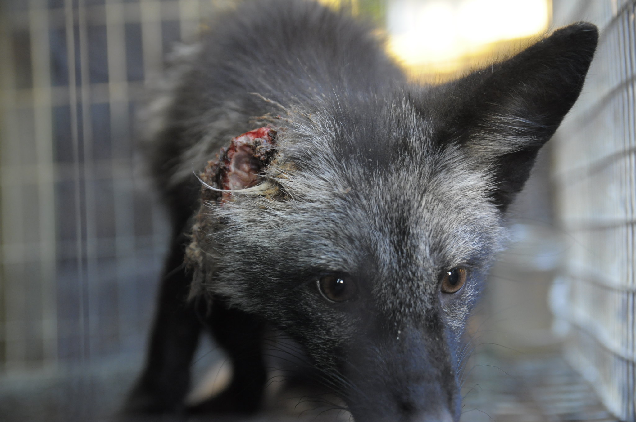 Warunki panujące na fermach futrzarskich rażąco łamią dobrostan zwierząt
