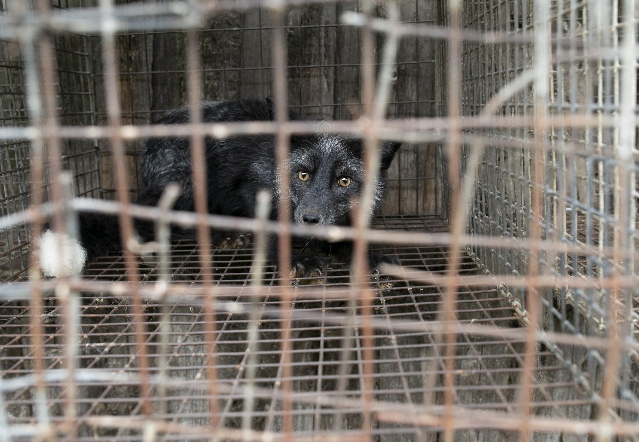 Lisy hodowane na futro spędzają całe swoje życie w ciasnych, metalowych klatkach