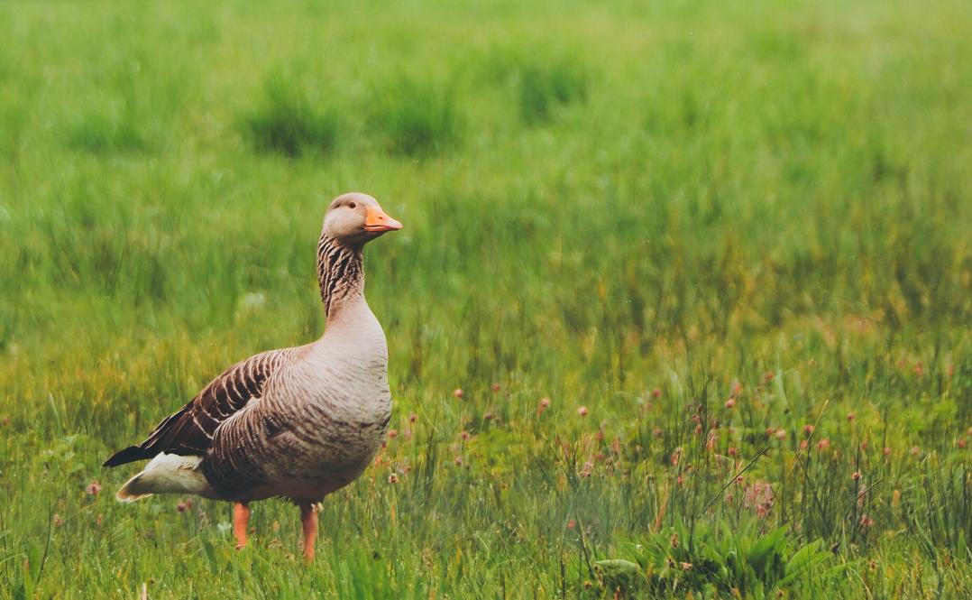 Otwarte Klatki gęsi foie gras