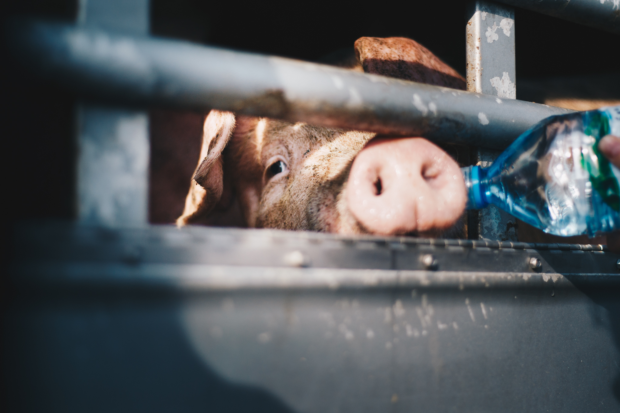 woda transport świnia
