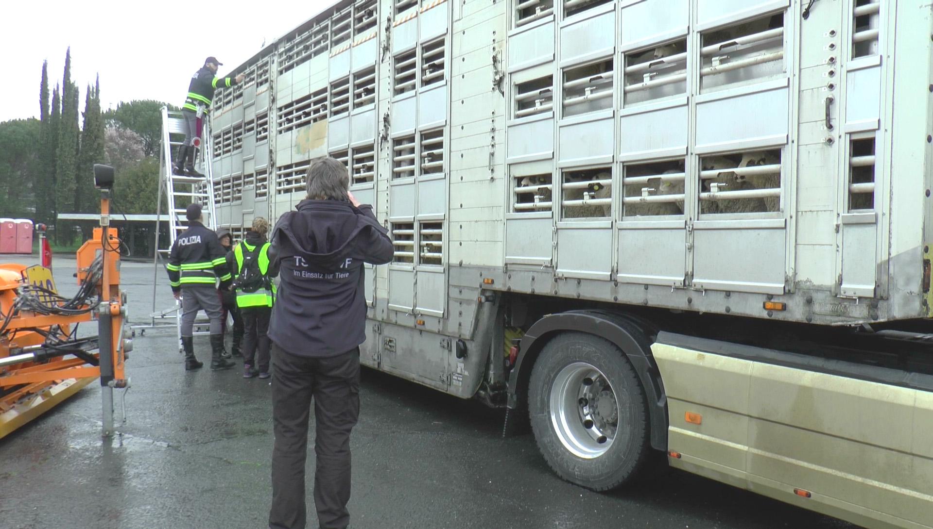 Firmy transportowe często nie ponoszą żadnych realnych konsekwencji za łamanie prawa (fot. Animal Welfare Foundation)