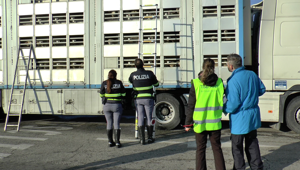 transport jagniąt