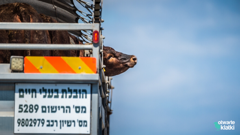 transport bydła do Izraela