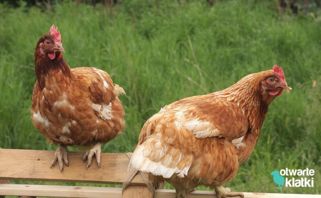 Kura znosząca złote jajka