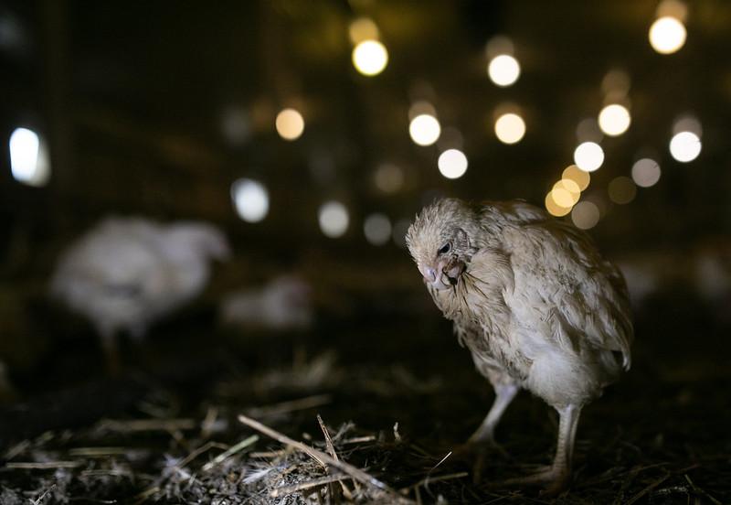 Kurczak hodowany na mięso na fermie przemysłowej