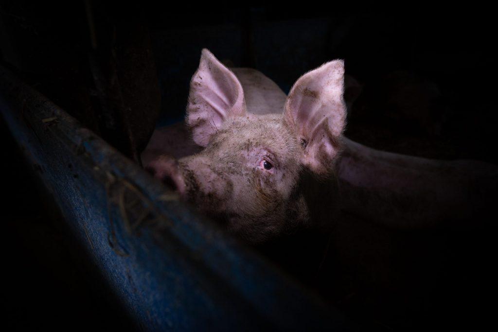 Świnia w hodowli przemysłowej